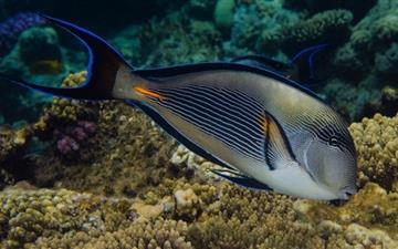 Red Sea Fish Mac wallpaper