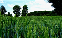 Green Wheat Field Landscape Mac wallpaper