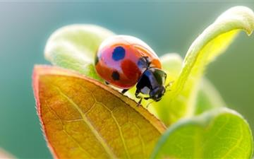 Ladybug On Leaf Top Mac wallpaper