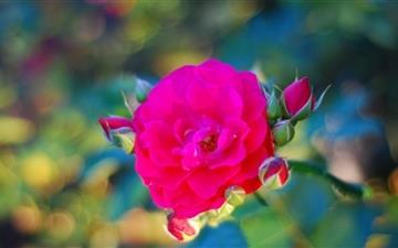 Magical Rose Mac wallpaper