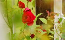 Red Roses Rosarium Utrecht Mac wallpaper