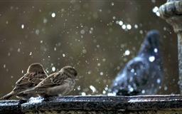 The Sparrows Mac wallpaper