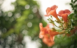 Pink Flowers Bokeh Mac wallpaper