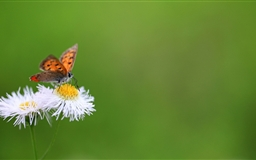 Butterfly Macro Mac wallpaper