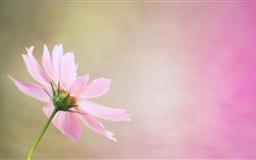 Cosmos Flower Mac wallpaper