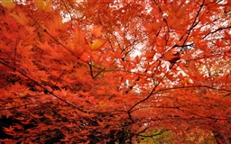 Japanese Maple Trees Mac wallpaper