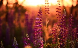 Lavender Lupine Mac wallpaper