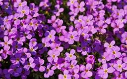 A Lot Of Purple Flowers Mac wallpaper