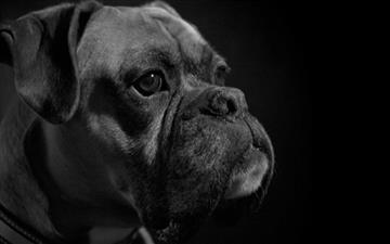Boxer Dog 660 1 Swimming Mac Wallpaper