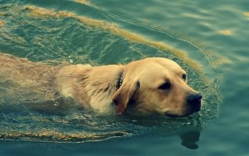 Dog Swimming Mac wallpaper