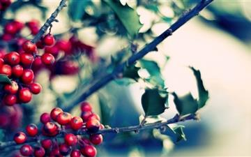 Ilex Holly Mac wallpaper