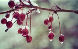 Frozen Berries Mac wallpaper