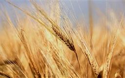 Gold Wheat Ears Mac wallpaper