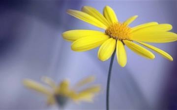 Yellow Flower With Stem Mac wallpaper