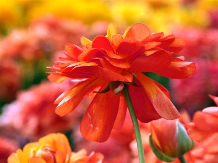 Flower 6 Mac Wallpaper