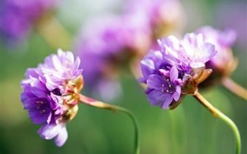 Purple Wildflower Mac wallpaper