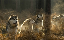 Huskies Group In The Forest Mac wallpaper