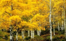 Yellow Birch Autumn Mac wallpaper
