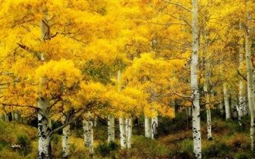 Yellow Birch Autumn Mac wallpaper