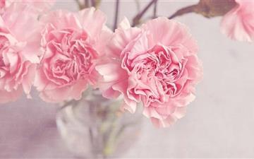Light Pink Carnation Flowers Mac wallpaper