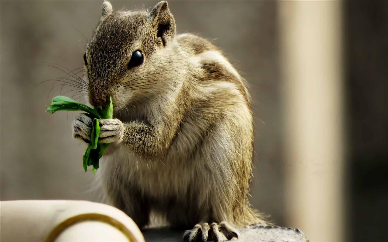 Indian Palm Squirrel Mac Wallpaper Download | AllMacWallpaper