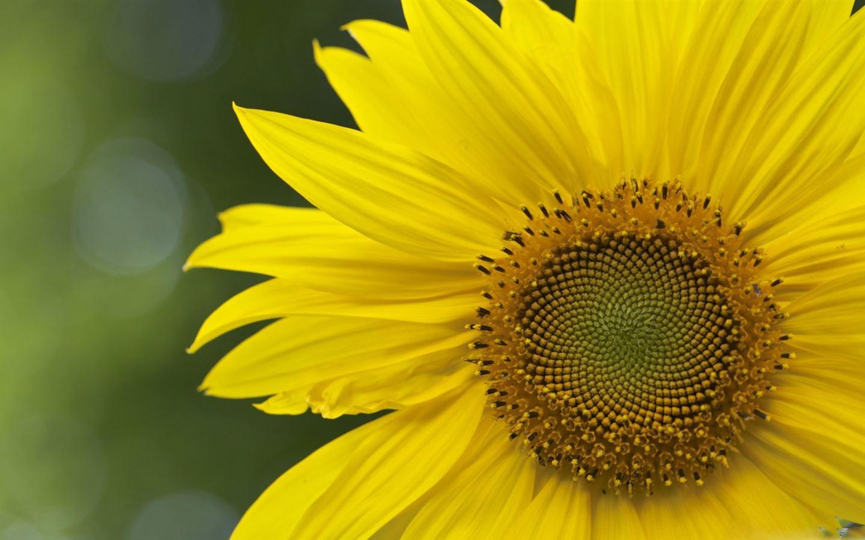 Sunflower Mac Download