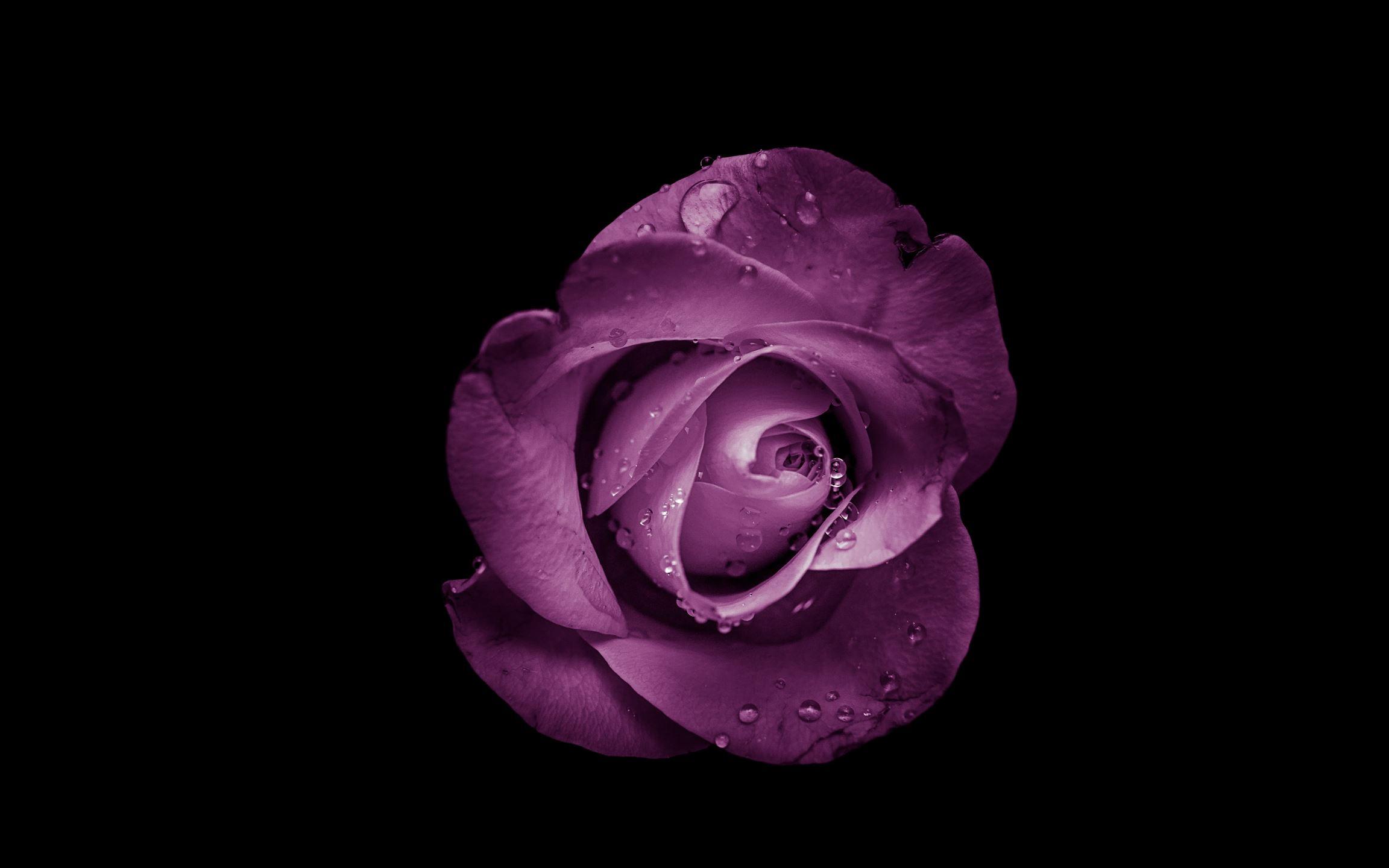 purple rose flower Mac Wallpaper Download | AllMacWallpaper