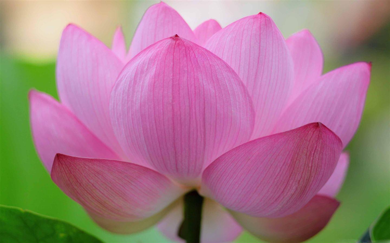 Pink Lotus Flower Mac Wallpaper Download Free Mac Wallpapers Download