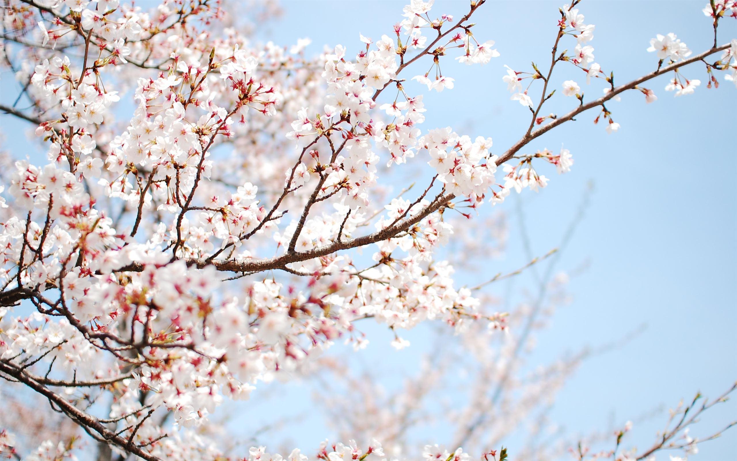 Cherry Blossom Mac Wallpaper Download Allmacwallpaper