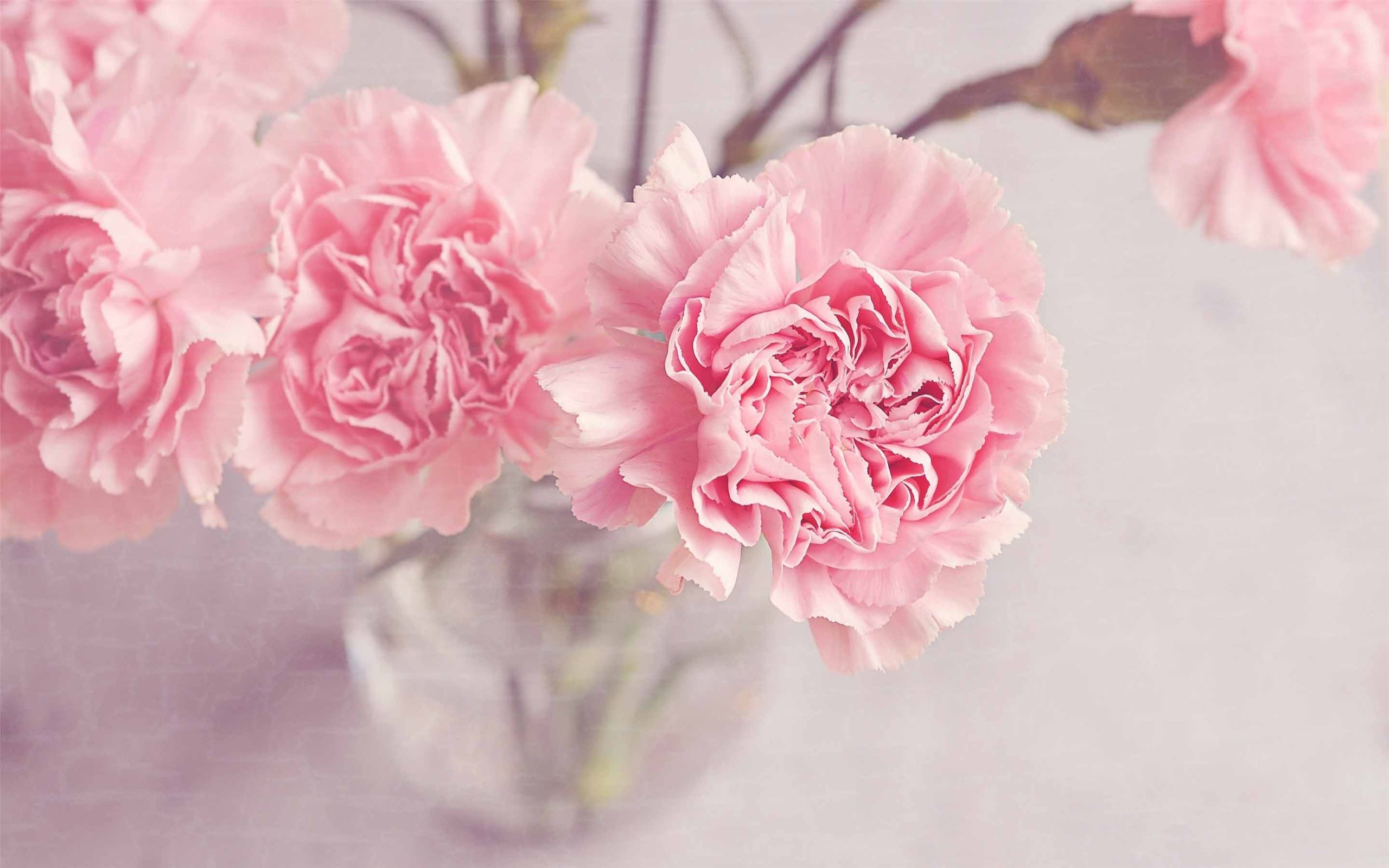 Light Pink Carnation Flowers Macbook Air Wallpaper Download