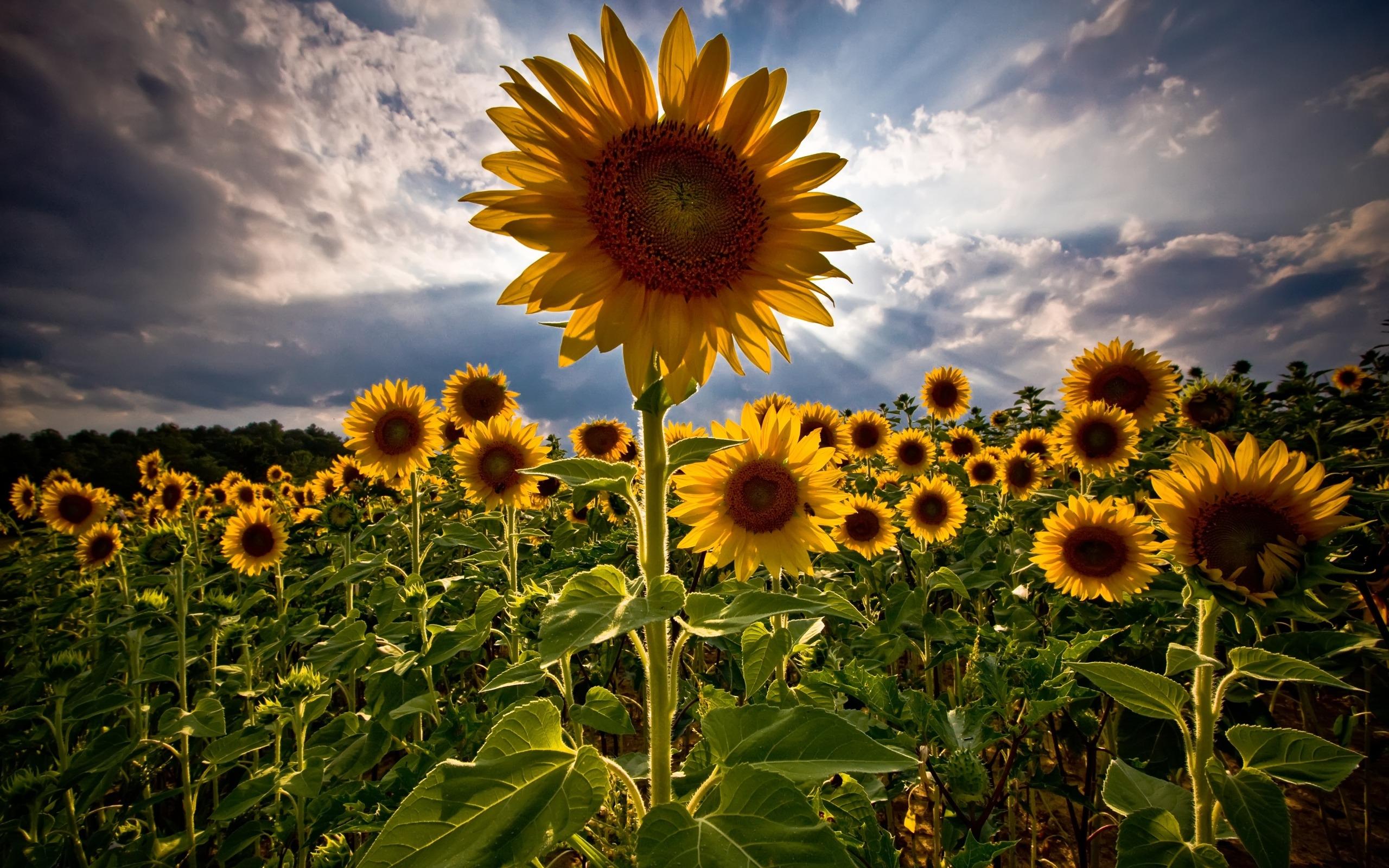 1000 Best Sunflower Mac Wallpapers Free Hd Download Allmacwallpaper