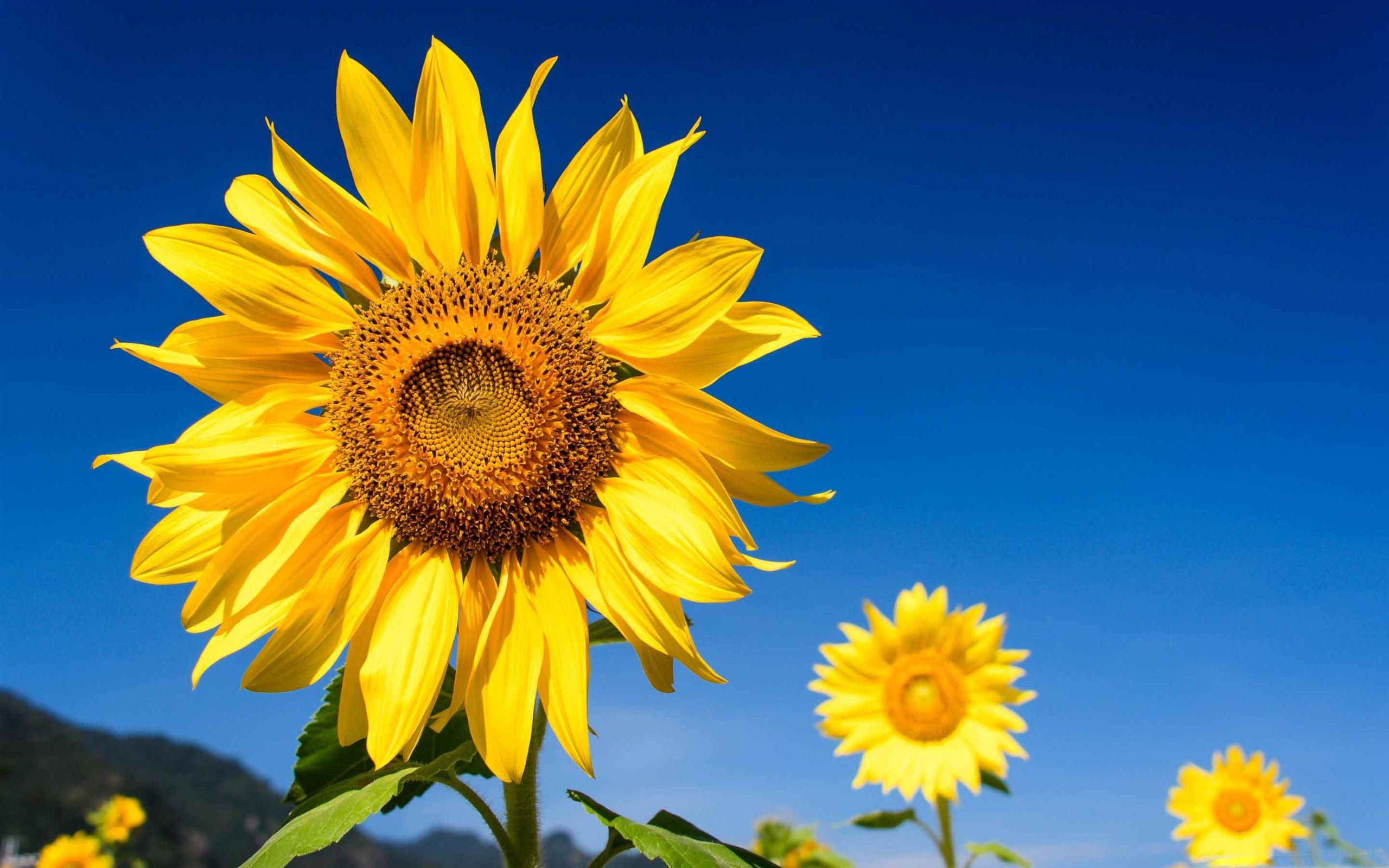 Sunflowers Blue Sky Mac Wallpaper Download | AllMacWallpaper