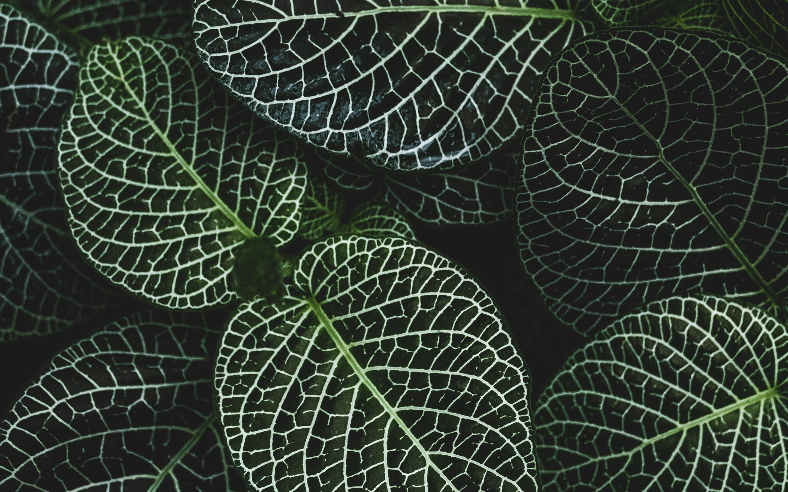 Selective Focus Photography Of Fittonia Plant Macbook Air Wallpaper Download Allmacwallpaper