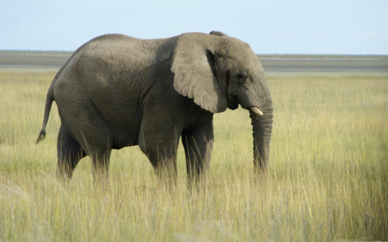 Wallpaper download elephant - African Elephant Namibia Mac Wallpaper