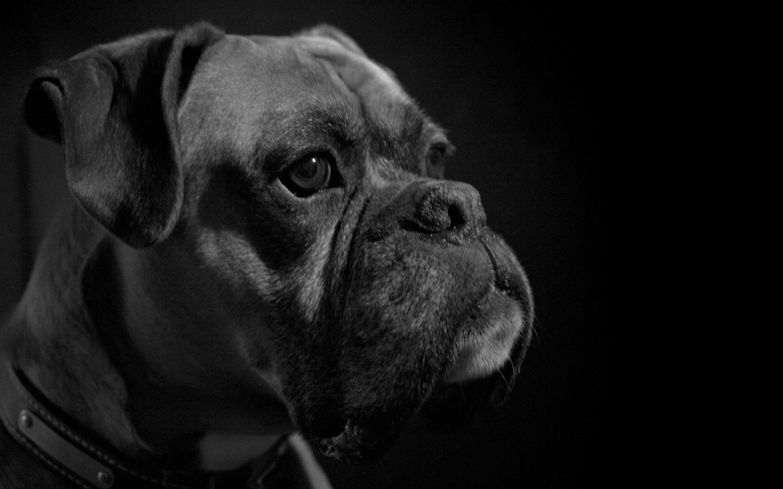 Boxer Dog Mac Wallpaper Download | Free Mac Wallpapers ...