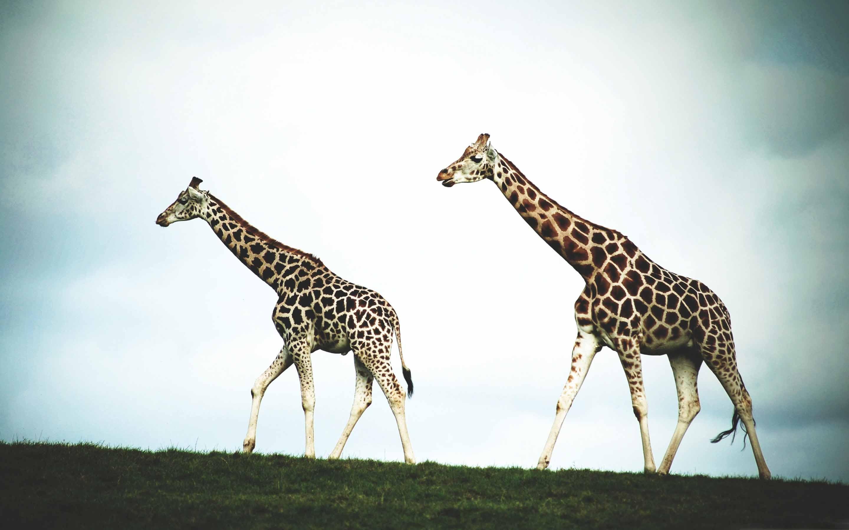 Double Giraffe Mac Wallpaper Download | Free Mac ...