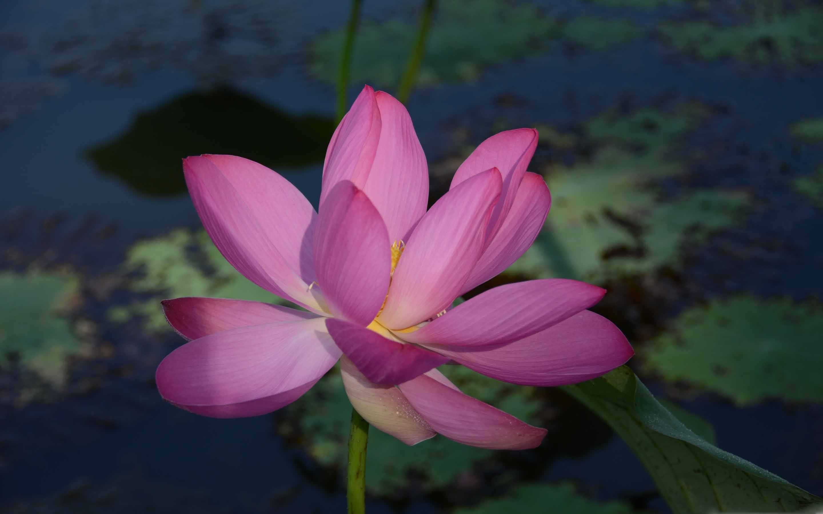 Lotus Flower Wallpaper Free Download Ls