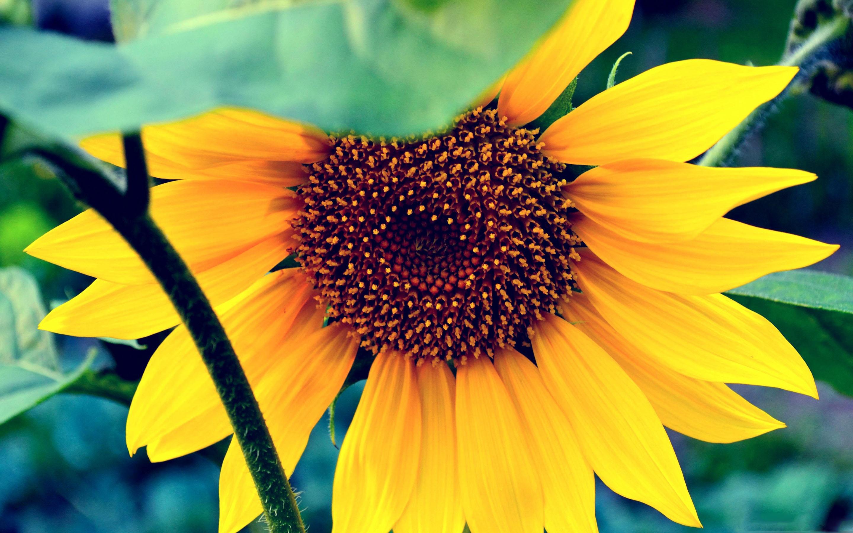 The Sunflower Mac Wallpaper Download   AllMacWallpaper