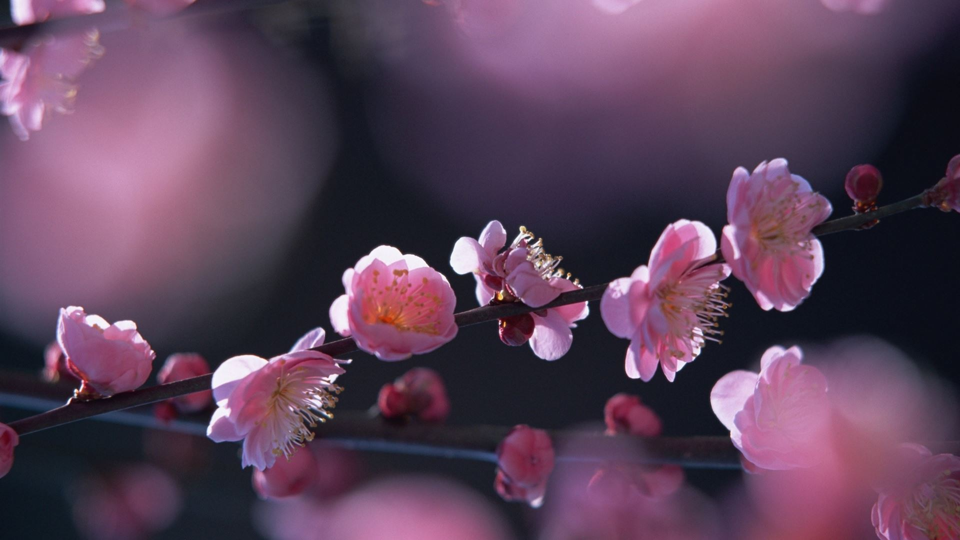 Pink Blossom Flowers Mac Wallpaper Download Free Mac Wallpapers
