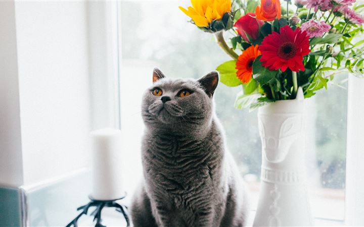 A British Shorthair iMac wallpaper