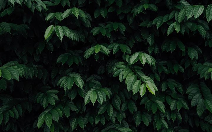 green leafed tree iMac wallpaper