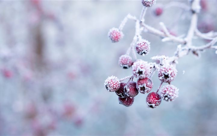 selective focus photo of frozen round red fruits iMac wallpaper