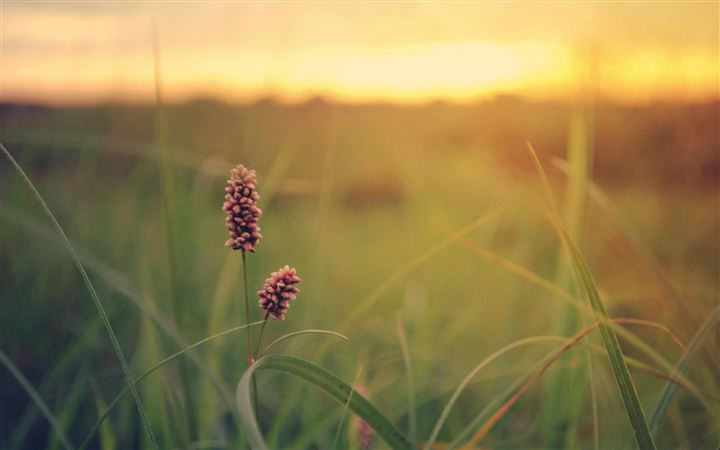 Grass Field Sunset Summer Flowers All Mac wallpaper