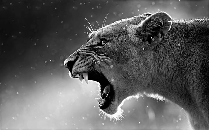 The Lioness All Mac wallpaper