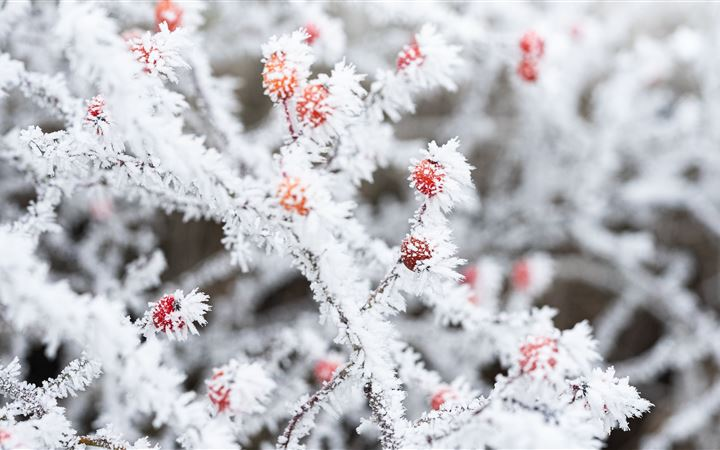 berry branches frost winter 5k All Mac wallpaper