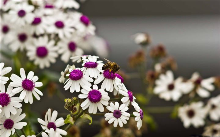 A Bee On Beautiful White Flowers All Mac wallpaper
