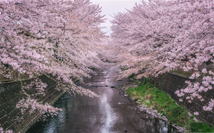 Beautiful Pink Cherry Blossoms All Mac wallpaper