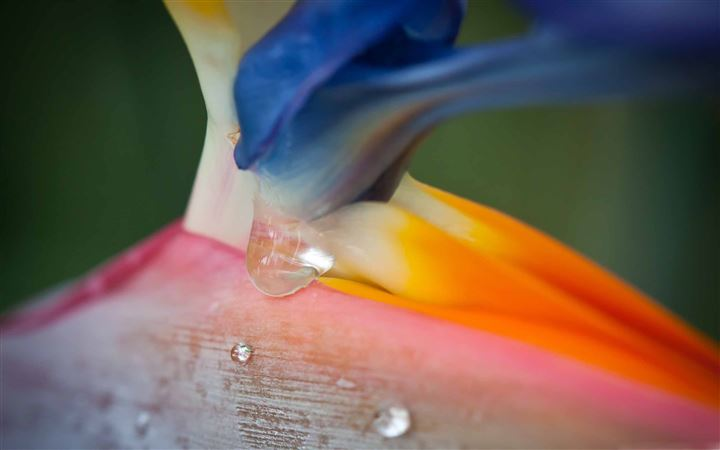 Bird Of Paradise Flower And Droplets All Mac wallpaper