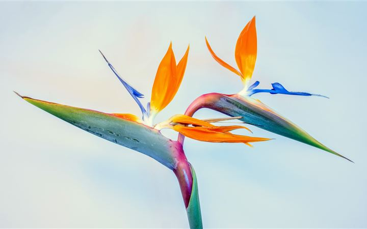 Birds of paradise, father... All Mac wallpaper