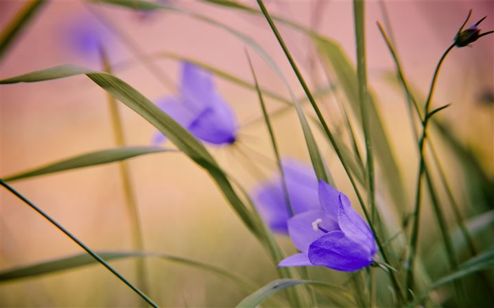Blue Wild Flowers All Mac wallpaper